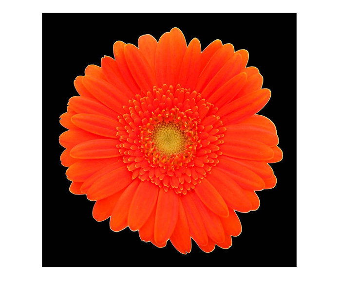 ร้อน Orange Gerber Daisy Canvas